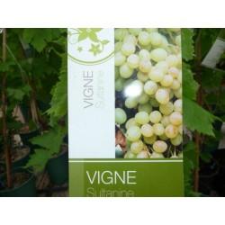 Plants de vigne greffé sultanine sans pépins