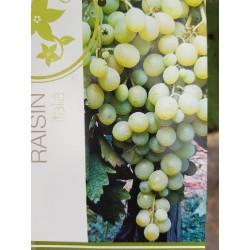 Jeunes Plants de vigne  Italia blanc