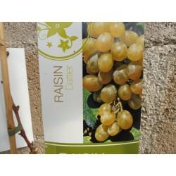 Jeunes Plants de vigne Muscat dattier de Beyrouth