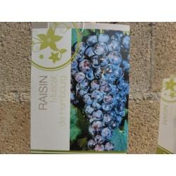 Plants Muscat de Hambourg