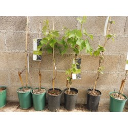 Plants de vigne greffé Muscat de Hambourg