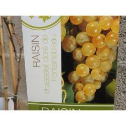 Jeunes Plants de vigne Chasselas doré de Fontainebleau