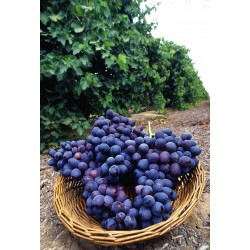 Jeunes plants de vigne Autumn Royal Sans Pépins