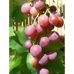 Plants de vigne greffé Cardinal
