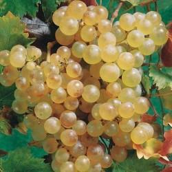 Plants de vigne greffé Chasselat doré de Fontainebleau