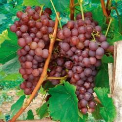 Plants de vigne greffé Chasselas rosé