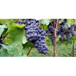 Plants de vigne Atika Sans Pépins