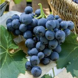 Plants de vigne greffé Alphonse Lavallée