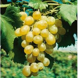 Plants de vigne greffé Muscat dattier
