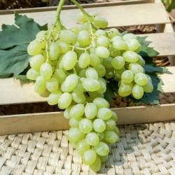 Plants de vigne greffé centenial seedless SANS PÉPINS