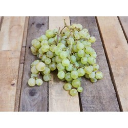 Jeunes Plants de vigne Danlas blanc