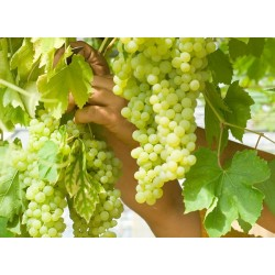 Plants de vigne PERLETTE blanc sans pépins