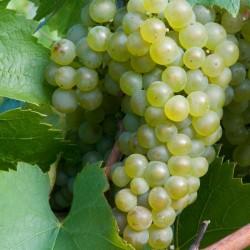 Jeunes Plants de vigne Perles de Csaba