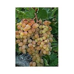 Plants de vigne greffé Danuta sans pépins