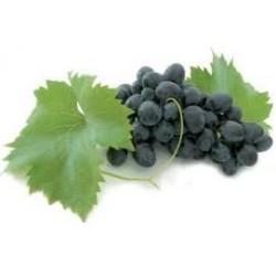 Plants de vigne greffé Prima