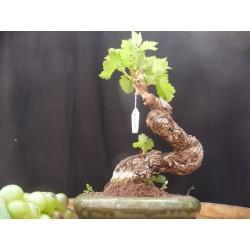 Bonsaï de vigne n°2 Muscat