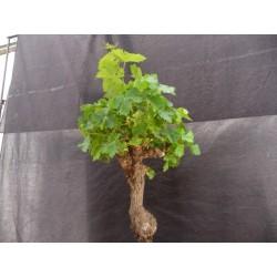 Vigne Muscat petits grains 45 ans avec Fruits