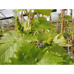 Plants de vigne greffé Exalta blanc