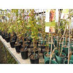 Plants de vigne greffé Gros raisin vert